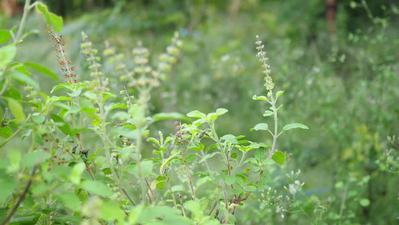 Antiviral activities of extracts and selected pure constituents of Ocimum basilicum.