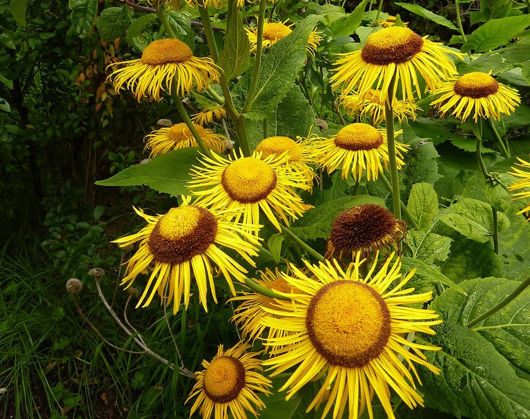 Antimicrobial characterization of Inula britannica against Helicobacter pylori on gastric condition.