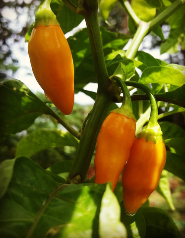 The Datil:  St. Augustine's Famous Chili Pepper