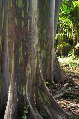 Rainbow Eucalyptus Tree used for Orontay