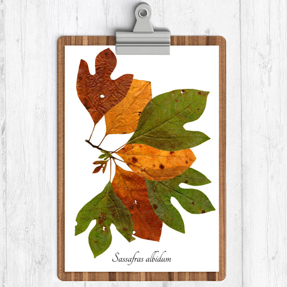 Brown green gold fall leaves on a branch with the text sassafras albidum on a white background