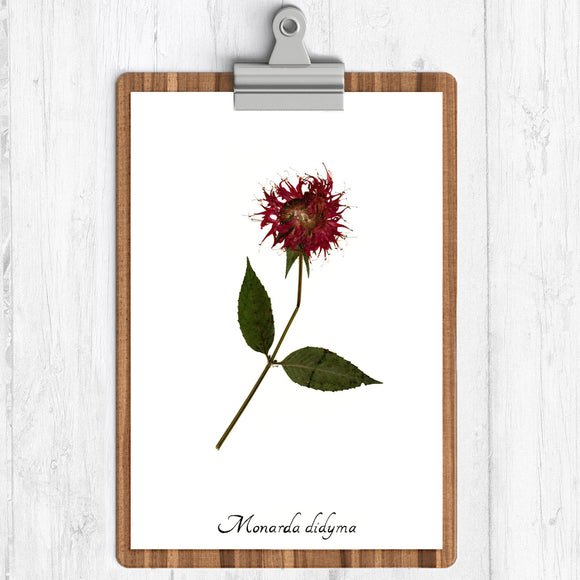Bee balm red flower with green leaves on a branch with the text monarda didyma on a white background