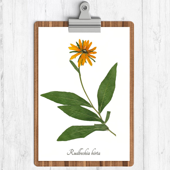 black eyed susan yellow flower green leaves with the text rudbeckia hirta on a white background