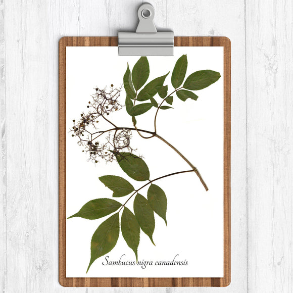 Elderberry red berries with green leaves on a branch with text umbucus nigra canadenis on a white background