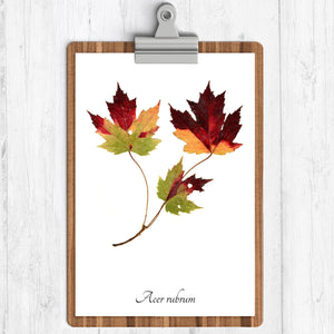 A white background art print with an illustration of red maple fall leaves.