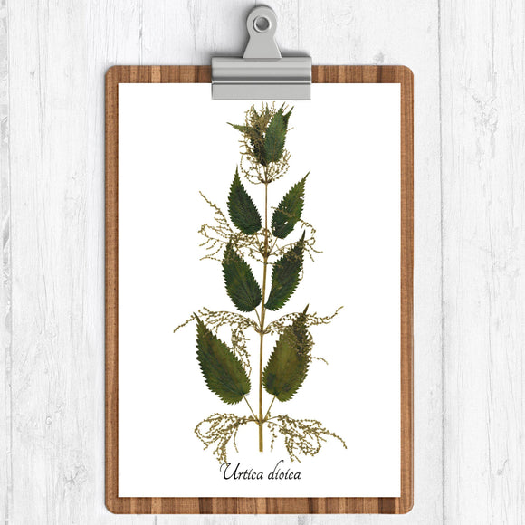 A white background art print with an illustration of a stinging nettle.