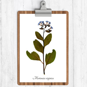 A white background with an illustration of the virginia bluebells.