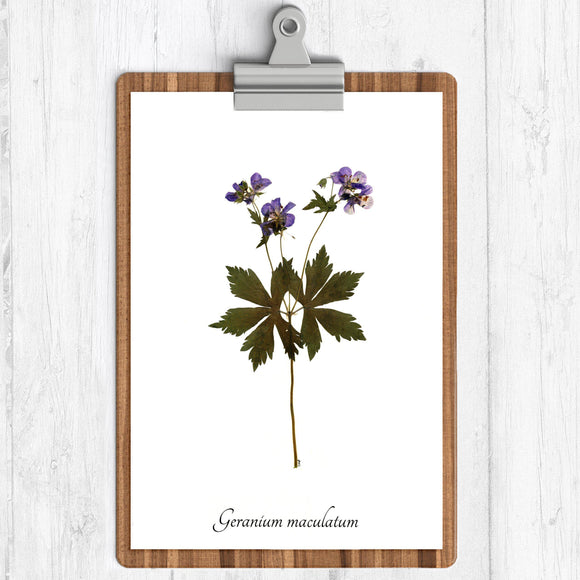 A white background art print with an illustration of a wild geranium.