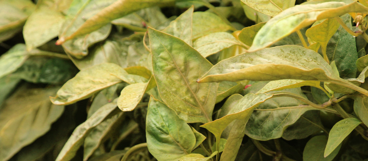 Identify Symptoms of Nitrogen Deficiency in Plant Leaves