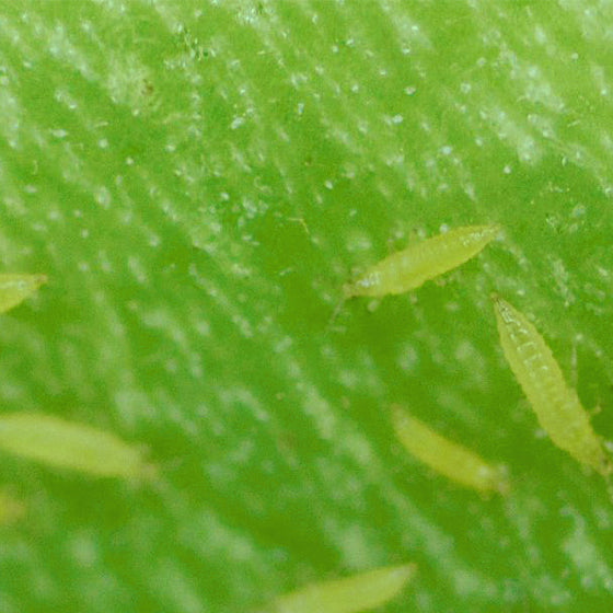 Thrips: How to Recognise Damage?