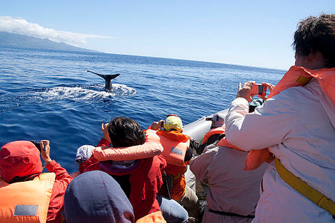 Whales watching on the Faial island in the Azores Portugal