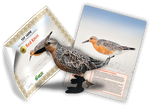 Red Knot Adoption Kit - Plush Bundle