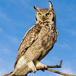 Great Horned Owl Adoption Kit - Plush Bundle
