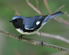 Black-Throated Blue Warbler, A Coffee Roaster's Best Friend