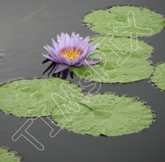Lily Pad Tile 1664