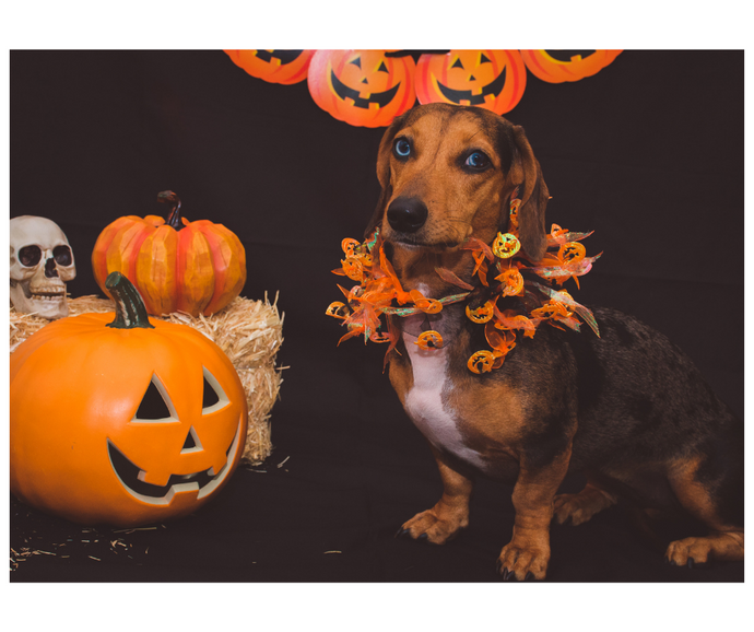 Celebrating Halloween with Your Pet