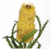 Pencil Banksia
