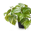 Marble Pothos in Pot