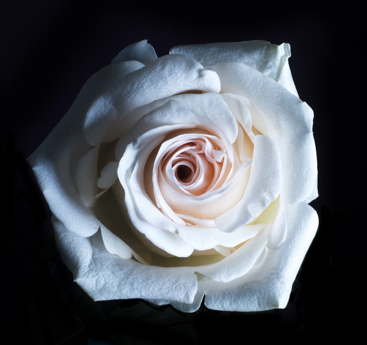 collections/white-rose-close-up.jpg