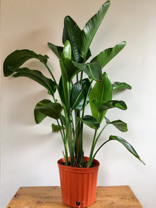 "Strelitzia nicolai Bird of Paradise 10"" nursery pot"
