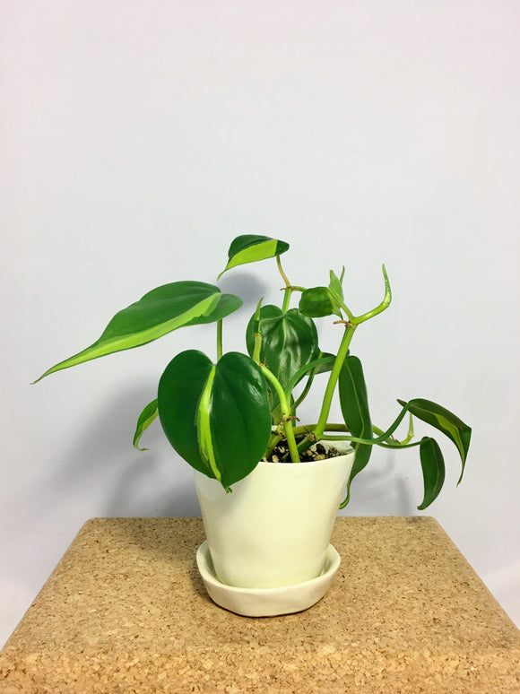 Ready to Gift Philodendron Brasil