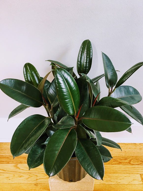 Ficus Burgundy Rubber Tree 8