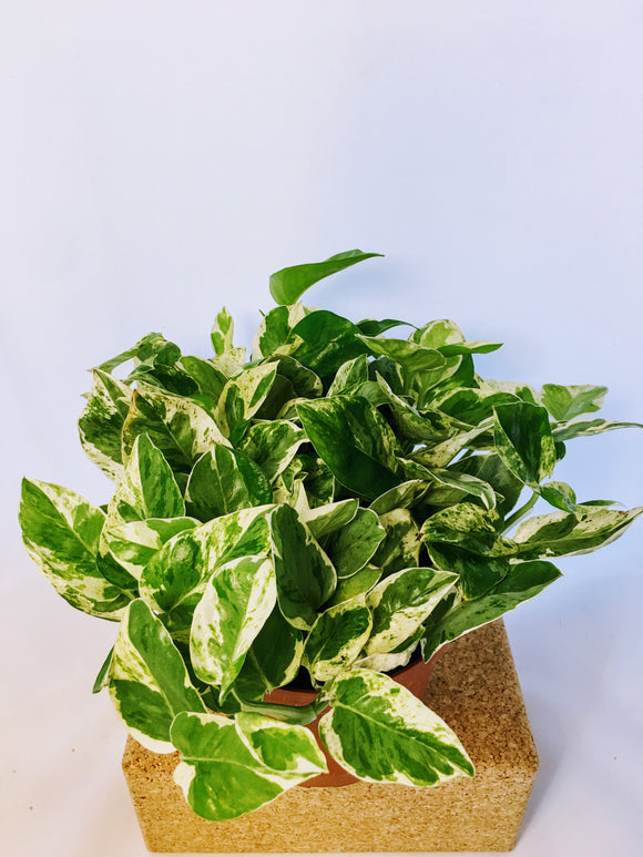 Pothos Pearls and Jade 6