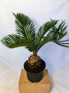 "King Sago Palm 6"" nursery pot"