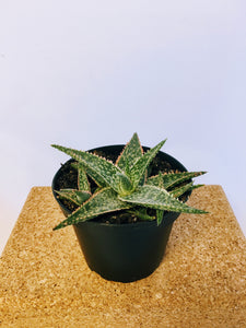 "Aloe Bright Star 4"" nursery pot"