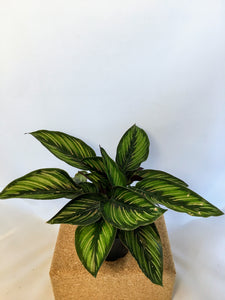 "Calathea 'Beauty Star' 4"" nursery pot"