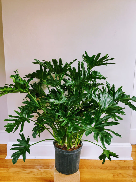 Philodendron selloum 10