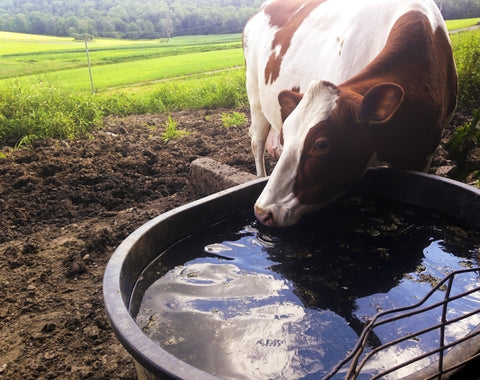 Dairy Cow drinking clean water