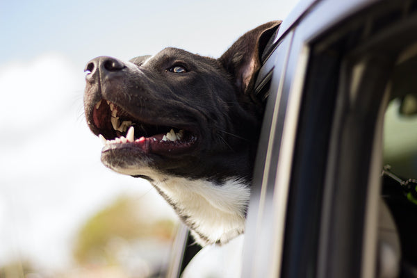Traveling with Your Pet this Holiday Season? You'll Need These Five Things