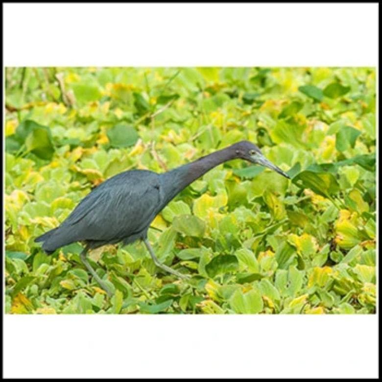 Framed Little Blue Heron Poster-Animal Teeze