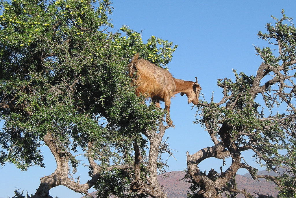 Wild goat in Morocco climbing trees to eat argan kernels