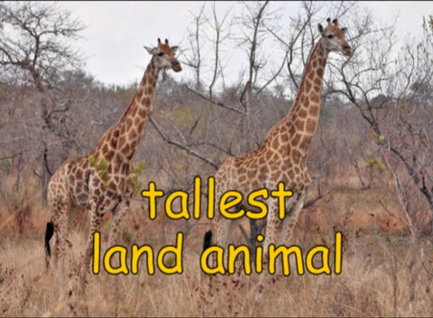 Animal Encyclopedic FREE Digital Video - Giraffe (Eng)