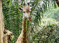Animal Encyclopedic FREE Digital Video - Giraffe (繁体中文 )