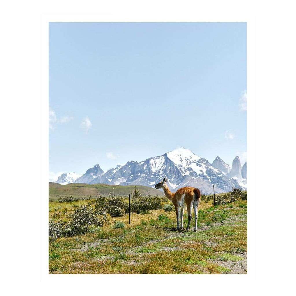 Jennifer Chong Photography + Prints Guanaco in Torres del Paine