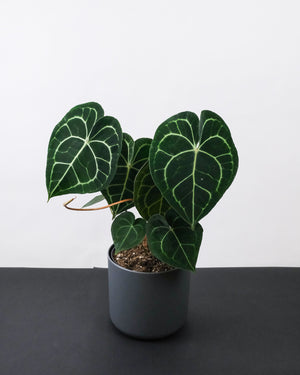Anthurium clarinervium in anthrazitfarbenem Topf