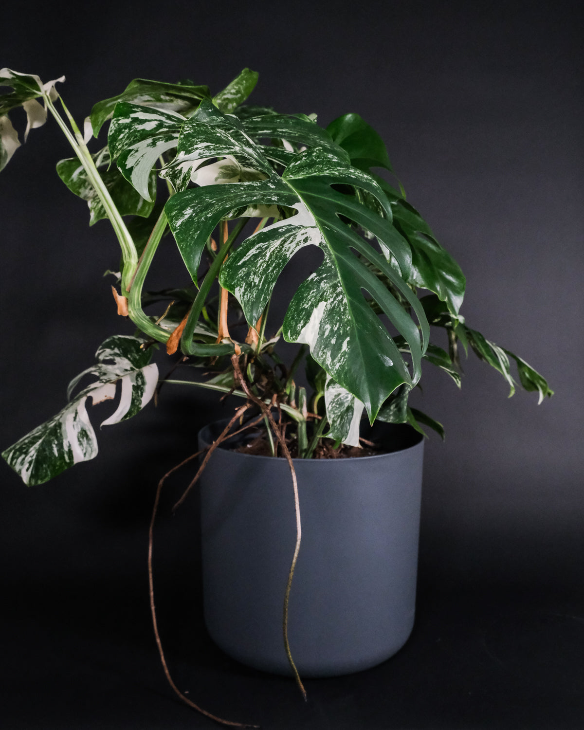 Grosse Monstera deliciosa variegata in einem anthrazitfarbenen Topf.
