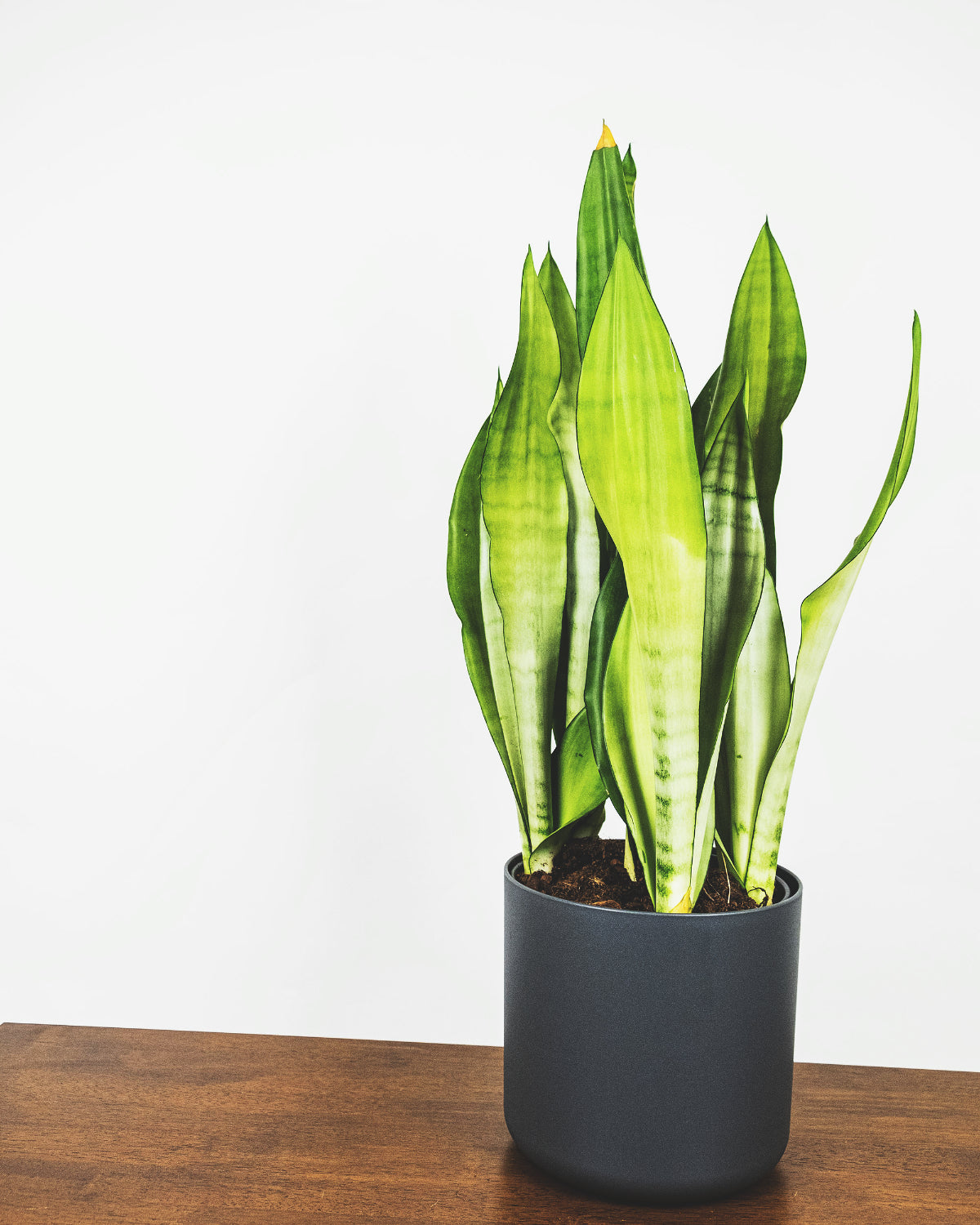 Grosse Sansevieria Moonshine in anthrazitfarbenem Topf