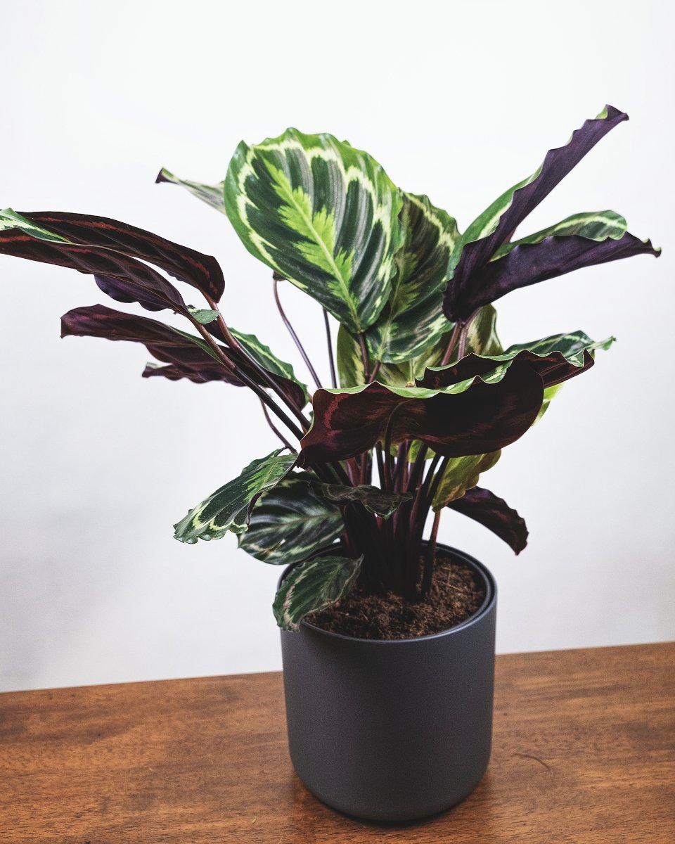 Grosse Calathea Roseopicta in anthrazitfarbenem Topf