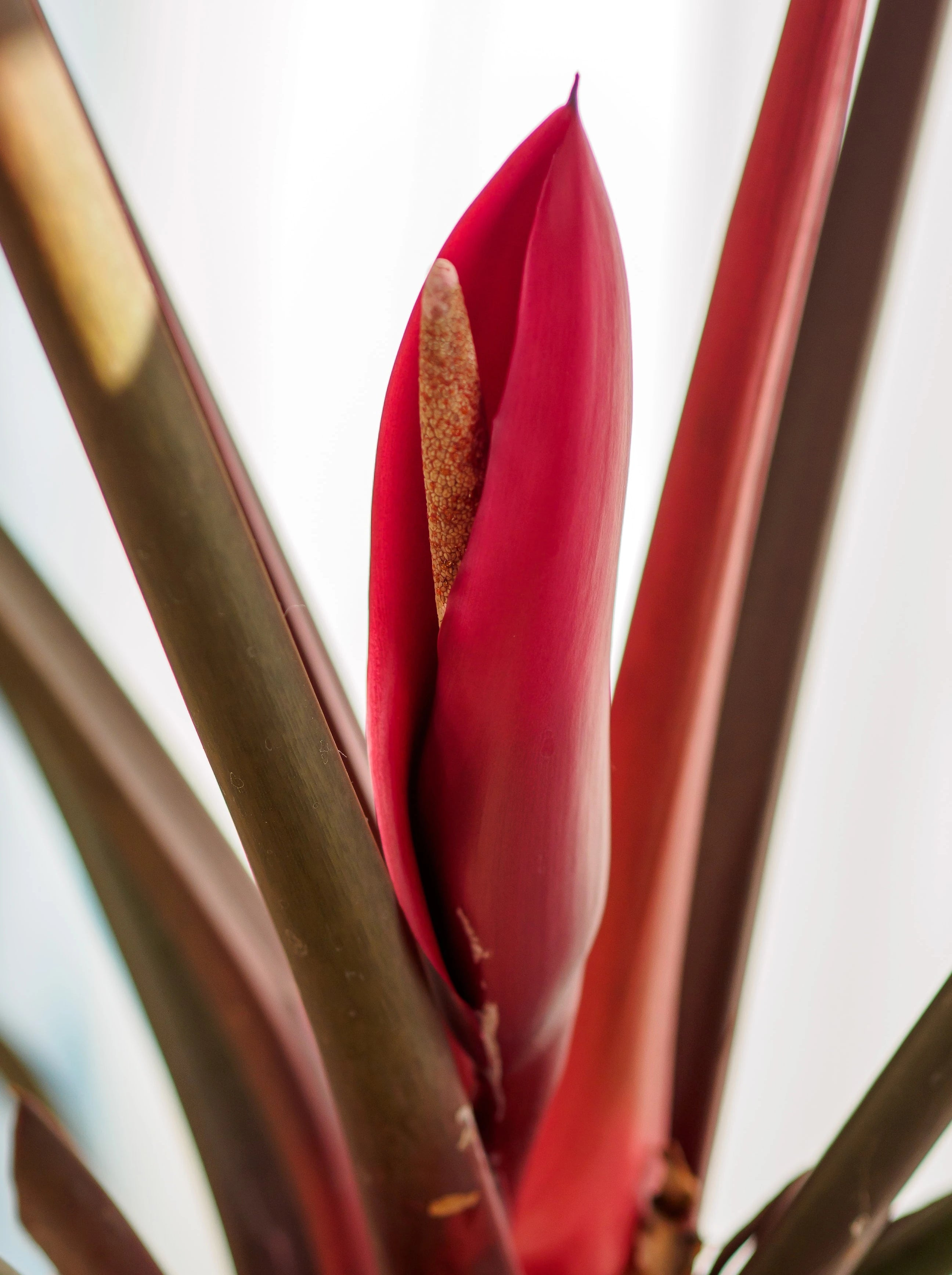 Dunkelrote Philodendron-Blüte