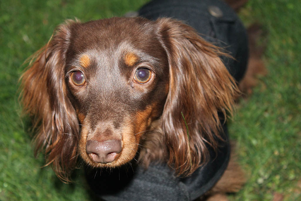 Black Dachshund Coat
