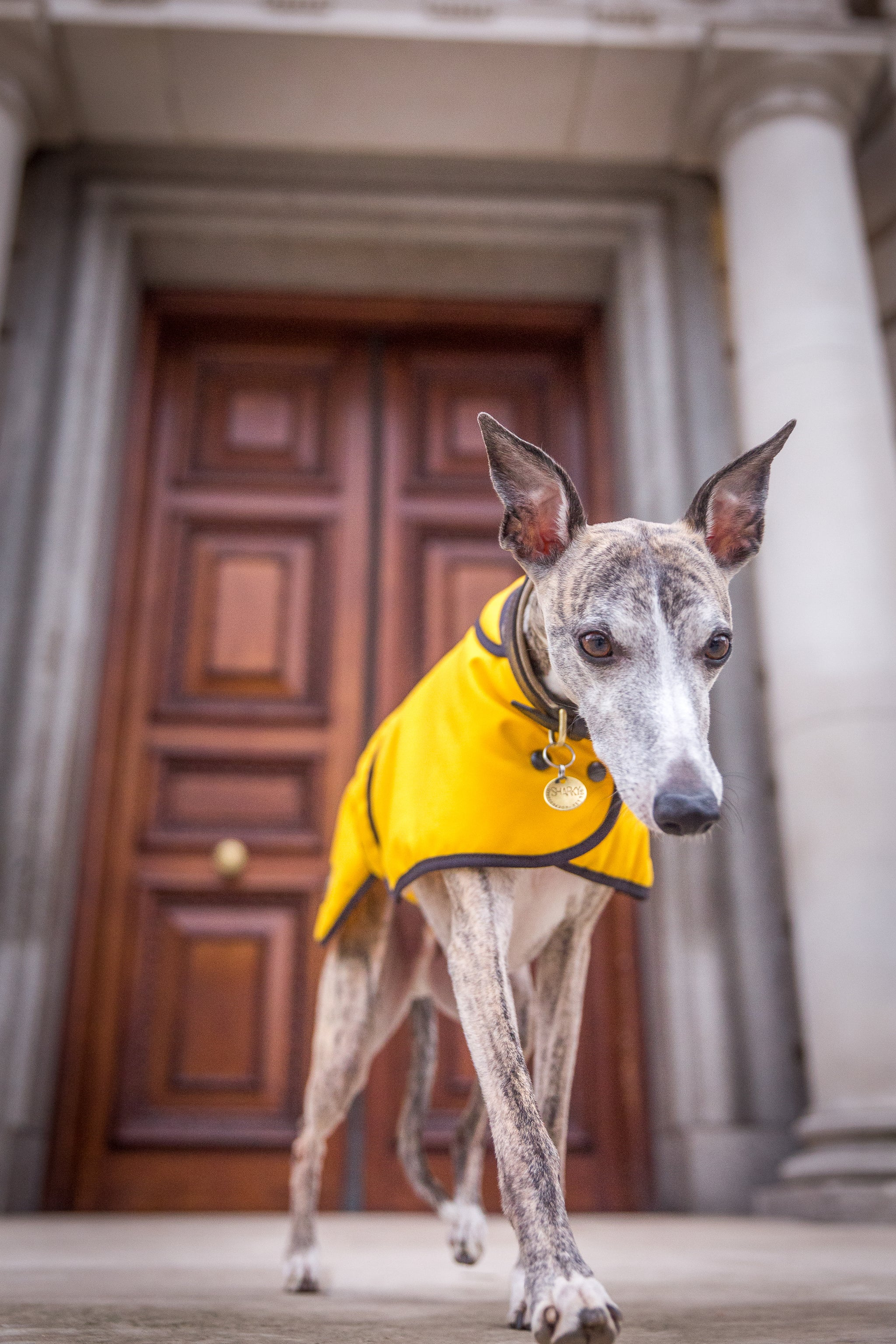 Mustard Wax Whippet Coat