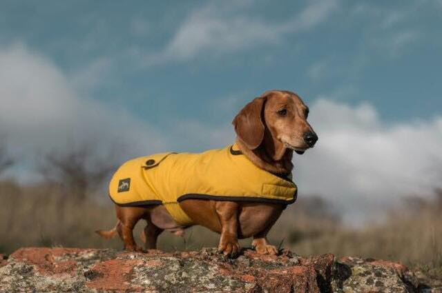 Mustard Waxed Cotton Dachshund Coat