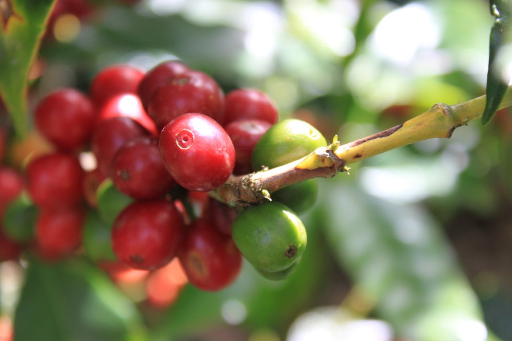 Ripe coffee beans on a coffee plant