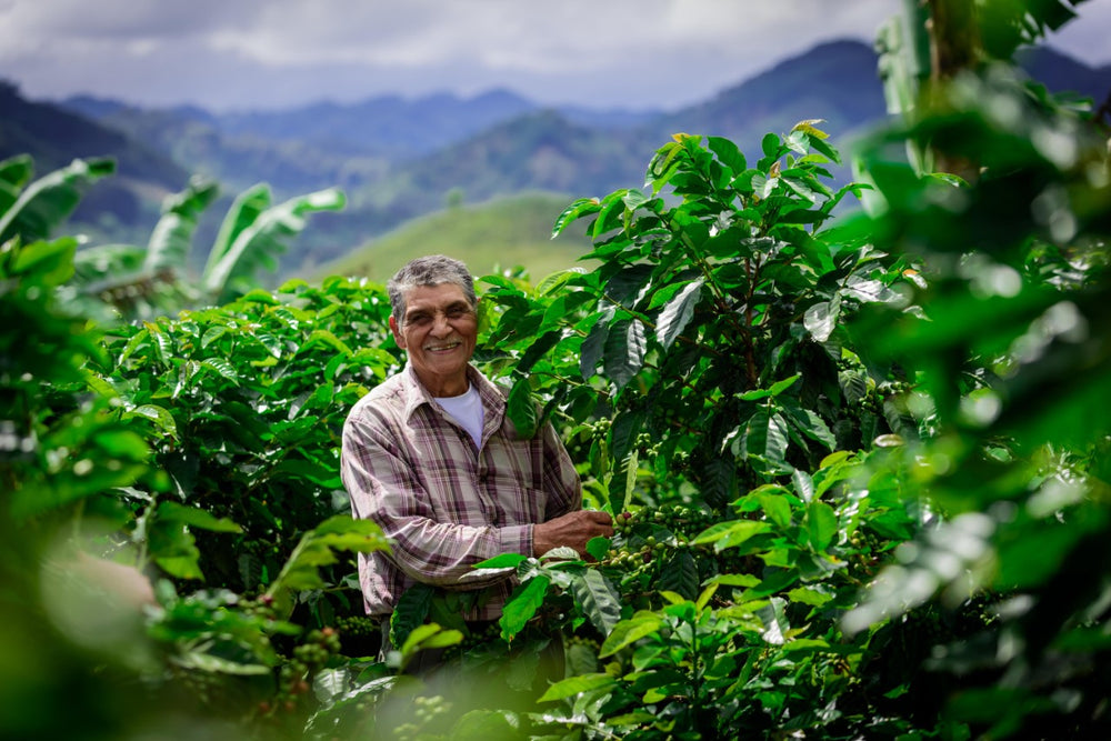 Coffee grower among coffee plants