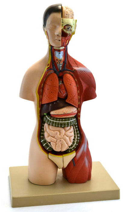"Adult Torso Anatomical Model with Head, 16 parts, Half-Size, Approx. 18"" Height - hBARSCI"