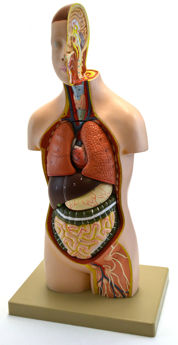 Eisco Labs Youth Torso Anatomical Model with Head, 9 parts, Half ...